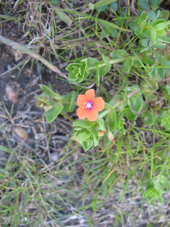 Scarlet Pimpernel (exotic from Europe).